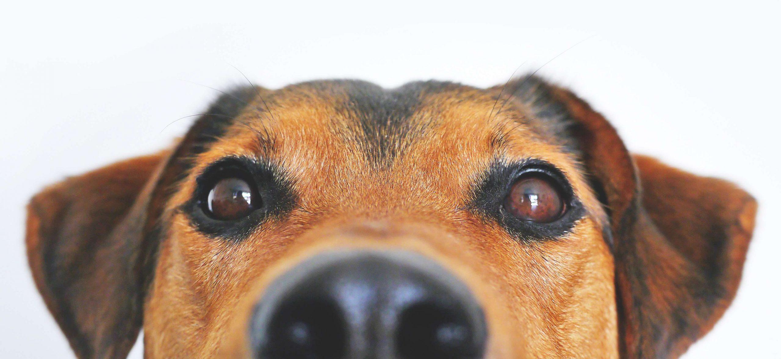 doggy-eyes